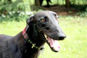 Greyhound-Hündin: MOLLY